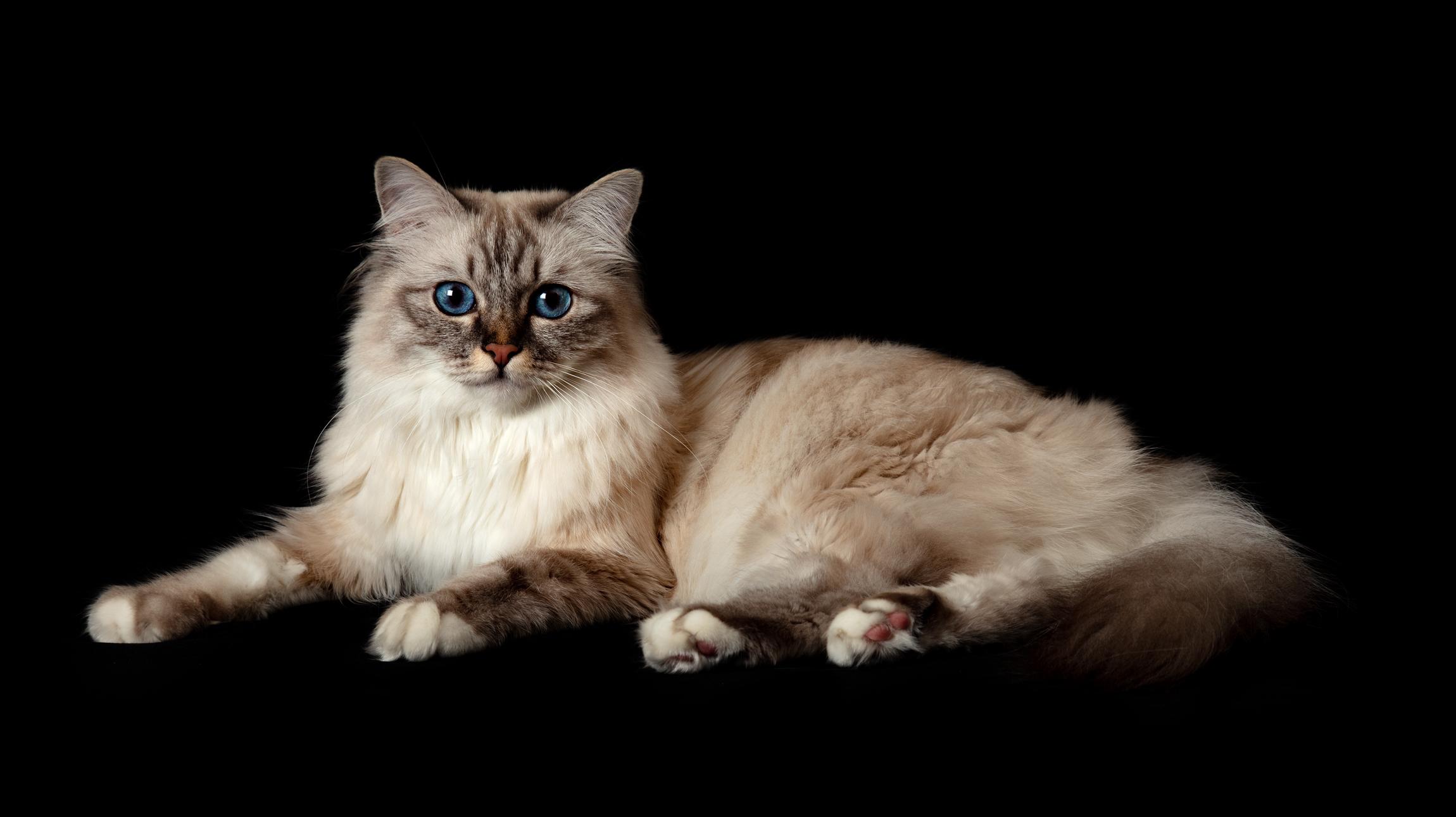 portrait animalier de chat par David Strano